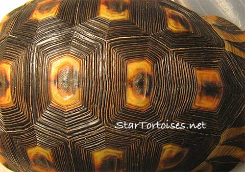 "Angulate tortoise shell - ""groove"" pattern"