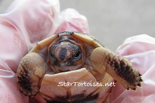 just hatched Angulate / Angulated tortoise (Chersina angulata)