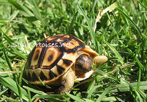 Angulate / Angulated tortoise, Chersina angulata