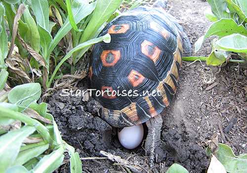 Angulate / Bowsprit tortoise laying an egg