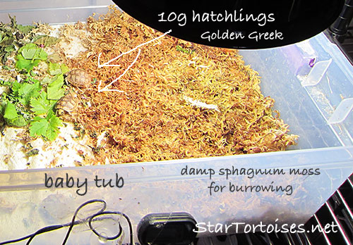 10 gram Golden Greek tortoise hatchlings