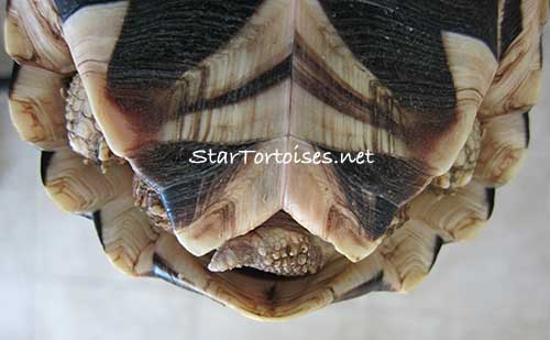 Burmese Star tortoise youngster