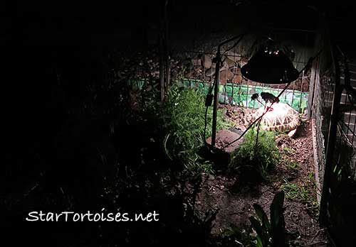 Burmese Star tortoise (Geochelone platynota) nesting at night