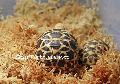 Burmese Star tortoise hatchling (Geochelone platynota) with an older sibling