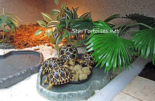 Indian Star Tortoise Food List Pictures