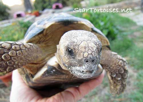 Burmese Star tortoise with a cuttlefish bone mustache