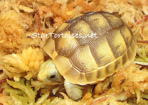 Golden Greek tortoise hatchling, Testudo graeca
