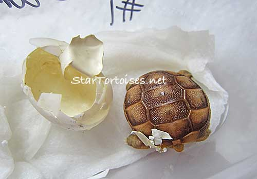 just hatched Golden Greek tortoise