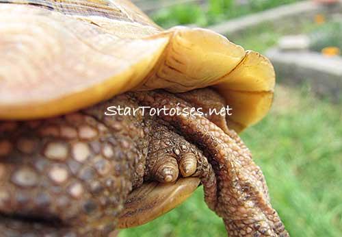 gallery for gt golden greek tortoise full grown