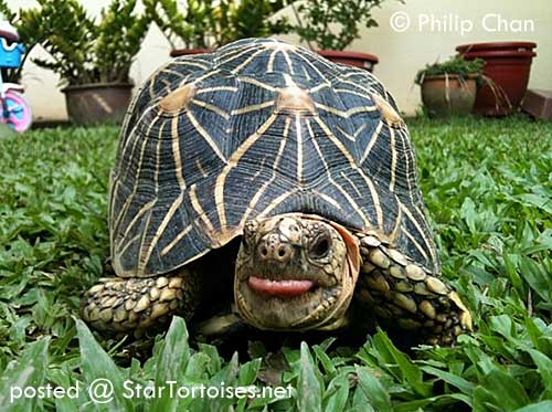 Indian star tortoise. photo courtesy of philip chan