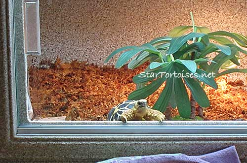 Burmese Star tortoise baby wathing world go by